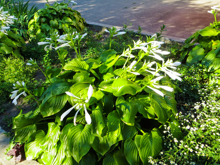 hosta: Hosta Aureomarginata flowers (Plantain Lily, Giboshi) in a garden