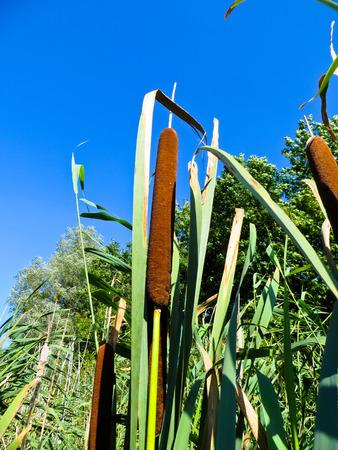 common reed: Common bulrush (Typha latifolia) Stock Photo