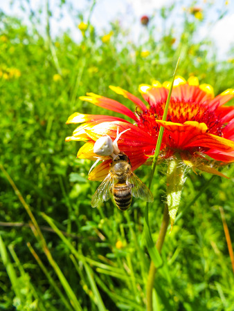 Crab Spider eating a bee on a flower