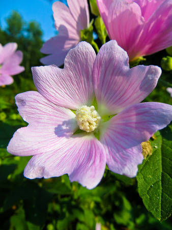 mallow: Wild mallow flowers growing on the meadow