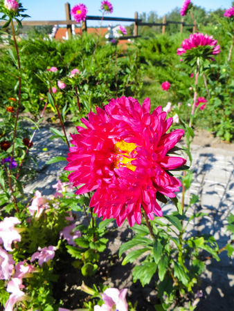 Beautiful red aster on a flowerbed in a park Stock Photo