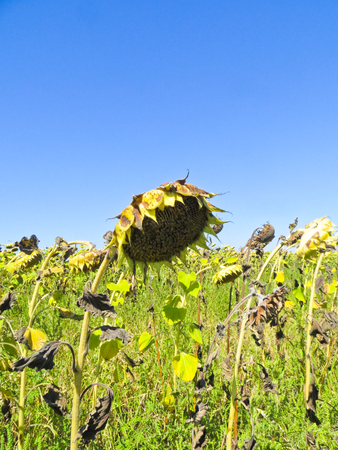 ripe: Ripe sunflower