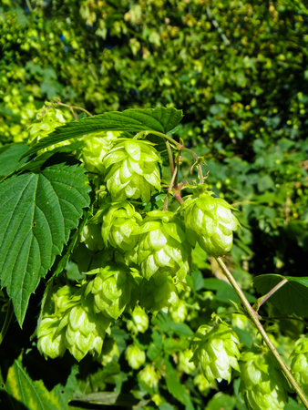 Green hop (Humulus) on summer Stock Photo