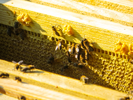 Honey bees on a honeycombs