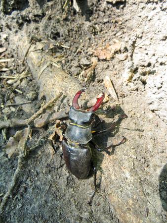 entomological: Common stag beetle (Lucanus cervus)