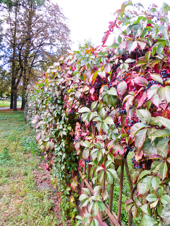 fense: Wild grape (Virginia Creeper) on a fense in the park Stock Photo