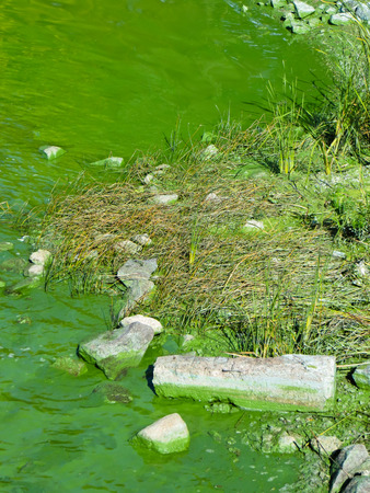plancton: la contaminación de las algas verdes en un río Dnieper