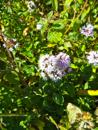 field mint: Flowers of a field mint (Mentha arvensis)