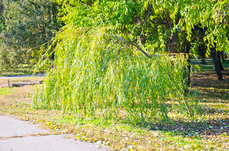 Weeping willow in the city park on autumn Stock Photo