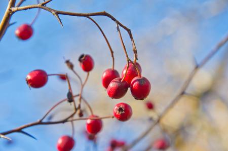 Berries on the hawthorn bush on autumn