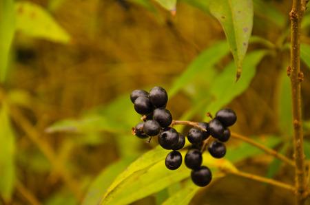 Berries of common privet (Ligustrum vulgare) on autumn Stock Photo