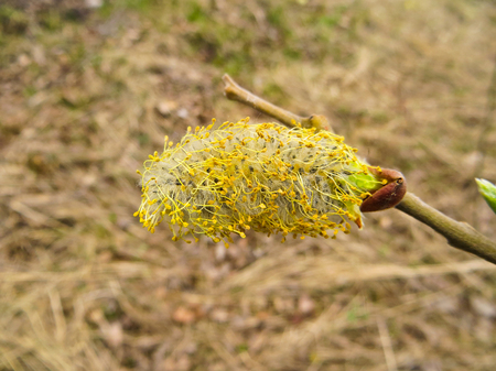 osier: Pussy willow on early spring
