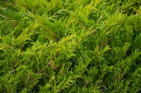 enebro: Green juniper bushes in the city park