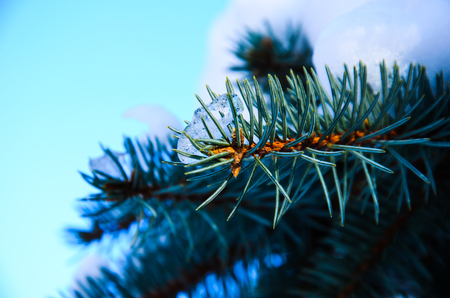 Needles on a fir tree branch with the snow Stock Photo