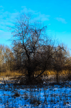 bough: Big tree with the bare branches on winter