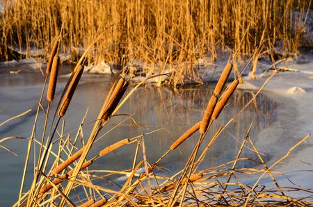 bulrush: Mature flower spike of the bulrush plant on winter Stock Photo