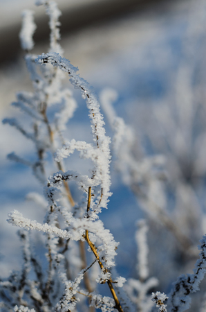 snowy field: Closeup of the twig covered with the hoarfrost Stock Photo