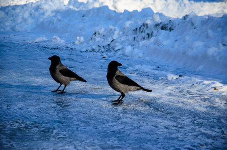 corvus: Crows on a ground in city park on winter