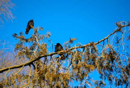 Group of crows on a thuja tree branch in park