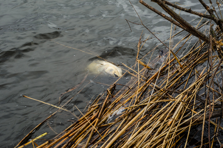 Dead fish in a lake after winter