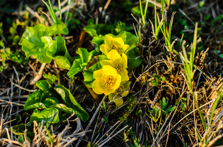 Blossoming marsh marigolds (Calta palustris) on spring Stock Photo