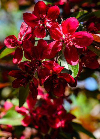 crab apple tree: Blossoming branch of the crabapple tree on spring