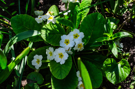 maleza: Primula flowers (Primula vulgaris) in a forest on spring