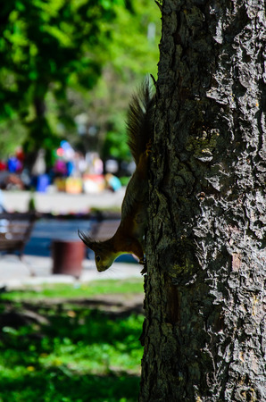 Squirrel on a tree in city park on spring Stock Photo