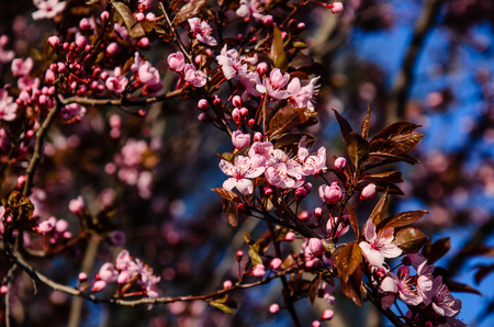 Blossoming branches of the paradise apple tree on spring