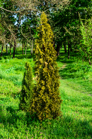 Thuja tree in a city park on spring Stock Photo