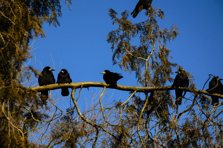 corvus: Group of crows on a thuja tree branch in park