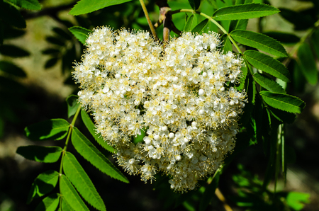 sorb: Blossoming branch of the rowan tree on spring Stock Photo