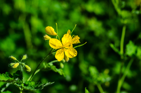 Celandine blossoming in a city park on spring Stock Photo