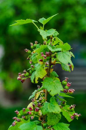 first day: Currant bush in a garden on spring