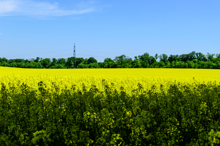 View on a blossoming canola field on spring