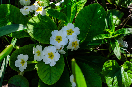 Primula flowers (Primula vulgaris) in a forest on spring