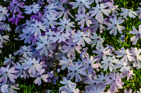 Blossoming phlox in the forest on spring