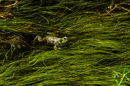 Frog in a swamp among the seaweed