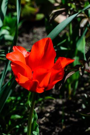 Red tulip on flowerbed in a garden