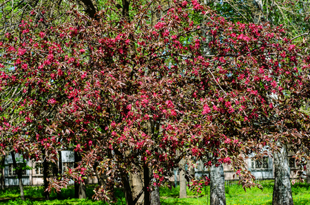 Blossoming crabapple tree in city park on spring