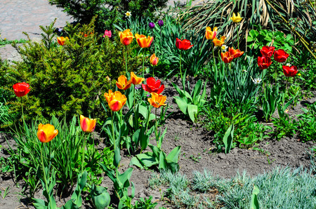 Yellow and red tulips on flowerbed in a garden Stock fotó