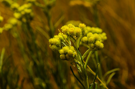 Helichrysum arenarium on a meadow