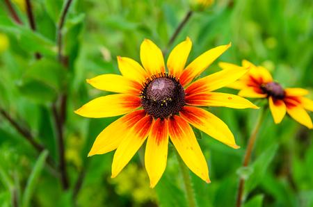 Black eyed susan flower in garden on summer
