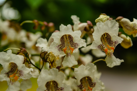 northern light: Flowers of the catalpa tree on summer Stock Photo
