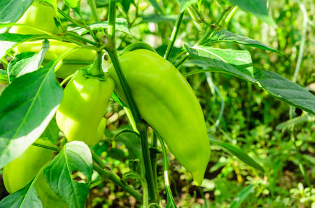 Pepper plant with fruits in a garden