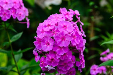 Pink phlox flower on a flowerbed in a garden