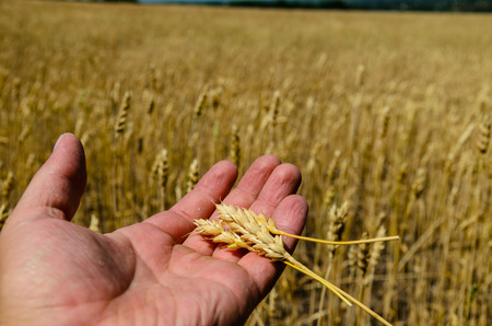 callus: Ripe spikes of wheat in a farmer hand