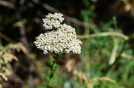 yarrow: Flower of the yarrow plant on summer