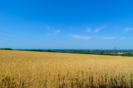Field of the ripe yellow wheat on summer