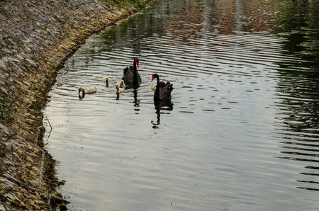 Couple of black swans with their nestlings